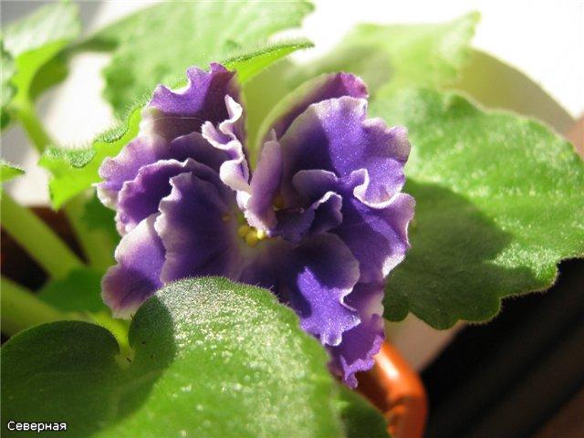 Цветочки Северной - Страница 5 D2d019574d22