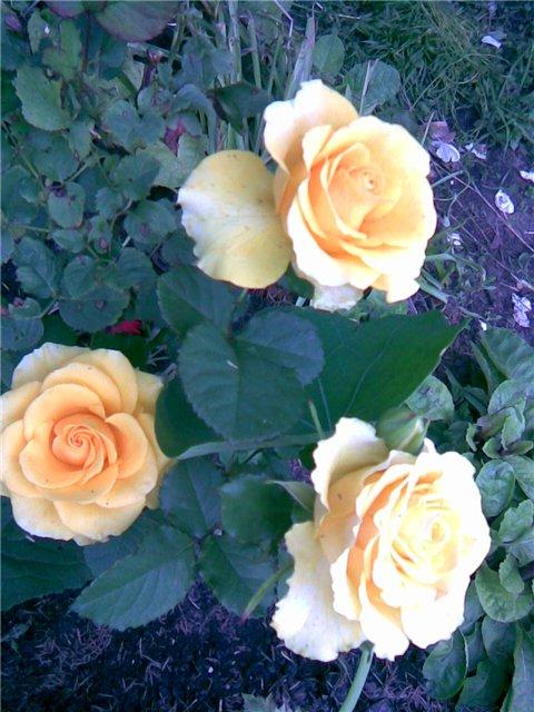 <K> Украсим розами любовь!  Фотовыставка. 72e641f47982