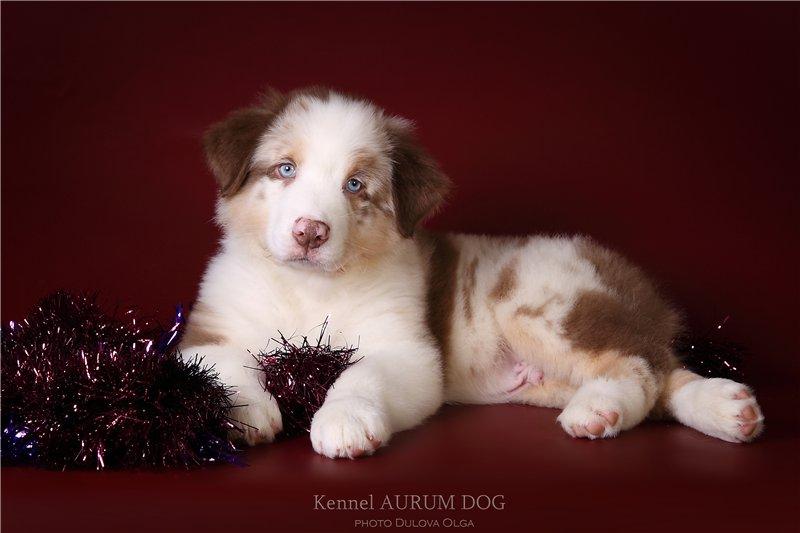 "Питомник ""Aurum Dog"" - Страница 3 41620e457315"