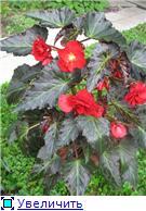 БЕГОНИЯ - неколючая роза. 090284f6b642t
