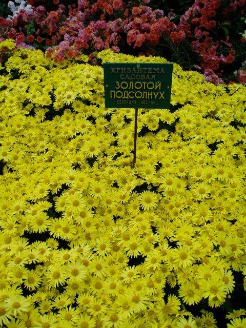 Парад хризантем в Никитском ботаническом саду. Крым  56b2db851e50