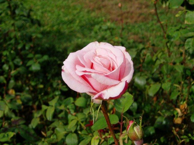 Парад хризантем в Никитском ботаническом саду. Крым  A5f608c62c5a