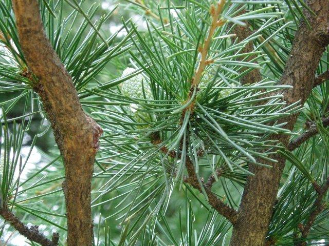 Парад хризантем в Никитском ботаническом саду. Крым  F28e004ed53b