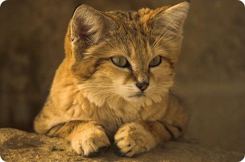 Необычные и редкие породы кошек и собак 1b0f0b21cd1d
