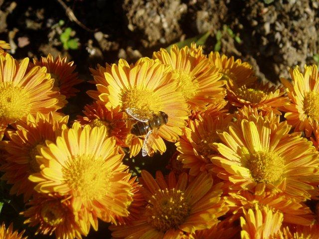 Парад хризантем в Никитском ботаническом саду. Крым  - Страница 2 19c56932b434