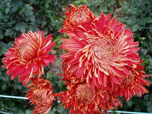 Парад хризантем в Никитском ботаническом саду. Крым  120c2426c7d5