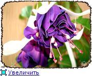 ФУКСИИ В ХАБАРОВСКЕ  - Страница 3 D627195d6412t