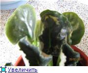 Геснеривые (фиалки, глоксинии, стрептокарпусы, и.т.д.)  - Страница 2 7b80a452dfa8t