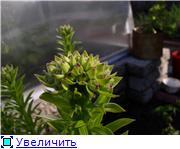 Лилии. Болезни и уход - Страница 3 Adb8352a9874t