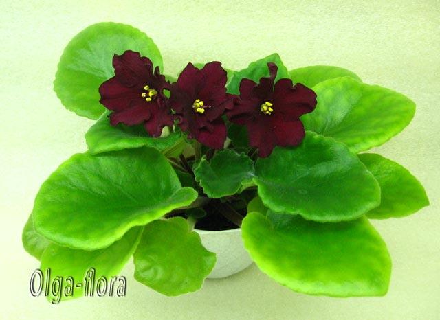 Цветение к Н. Г. (Olga-flora) - Страница 7 4778c2c3ccdf