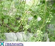 Виноград- секреты выращивания 3a6fc5735762t