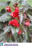 БЕГОНИЯ - неколючая роза. 3f9a4de0ecd7t