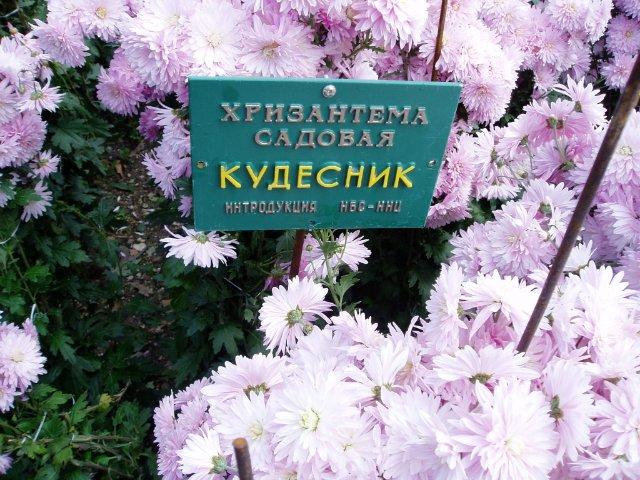 Парад хризантем в Никитском ботаническом саду. Крым  0f801a6bca41