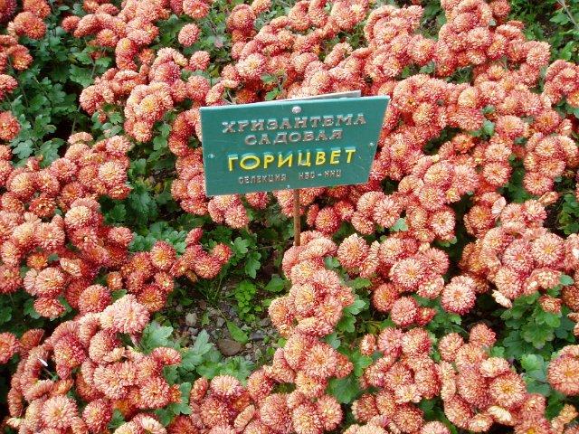 Парад хризантем в Никитском ботаническом саду. Крым  D89f2e85fa60