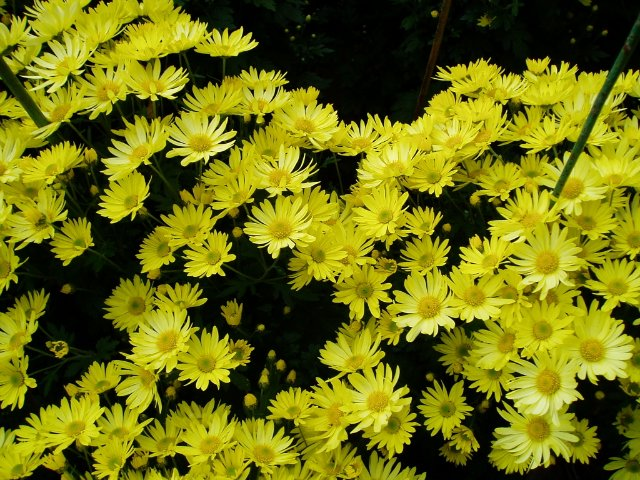 Парад хризантем в Никитском ботаническом саду. Крым  Dc9070cefe83