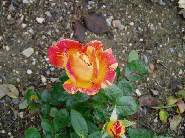 Парад хризантем в Никитском ботаническом саду. Крым  2e60c077a11f