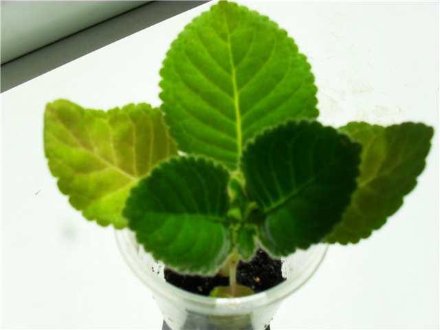 Краткие рекомендации по выращиванию и уходу за глоксиниями - Страница 2 1dcfab81f204