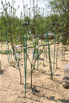 Яблоня: сорта и агротехника. - Страница 8 De0ced970b70t