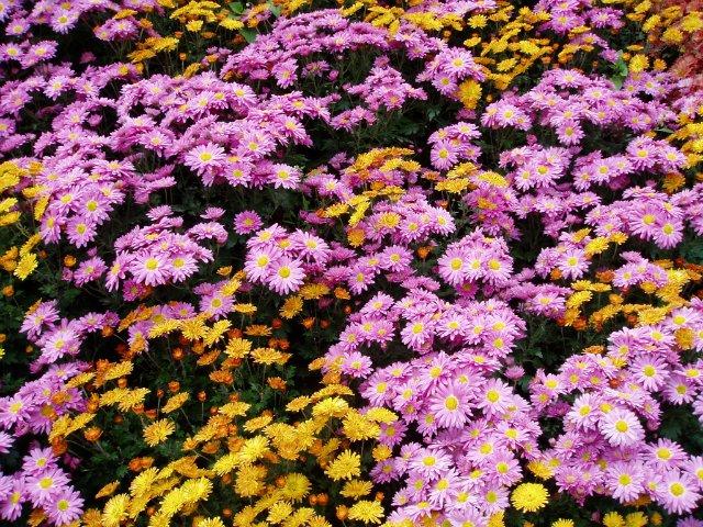 Парад хризантем в Никитском ботаническом саду. Крым  Ecef1fbd413d