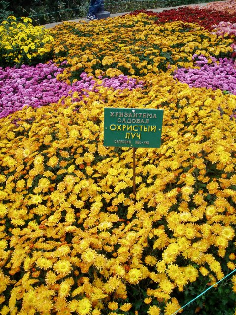 Парад хризантем в Никитском ботаническом саду. Крым  92ada10652a4