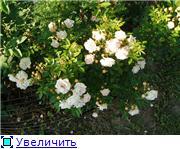 Розы 2011 61c1926ad19at