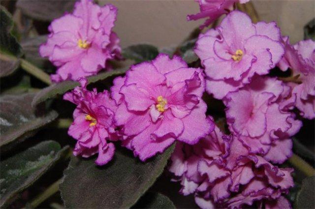 Растения Татьяны Малыгиной-фиалки, адешки, хойи, орхи... D5db28d92ea8