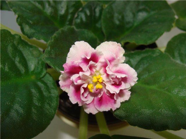 Весеннее  цветение (Хваст от Веры) - Страница 7 0783c75f57e4