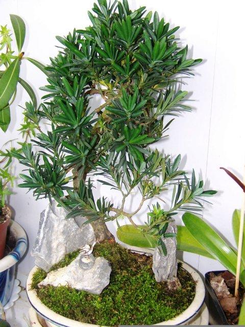 Ногоплодник (Podocarpus) 7452df8828d8