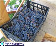 Виноград- секреты выращивания 380929dd635dt
