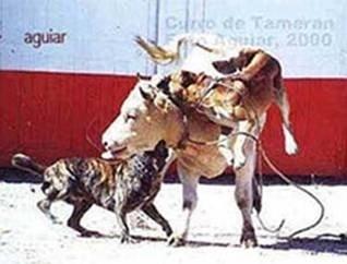 DOGO KANARIO (kanarski pas) i deo 9241d98f4e96