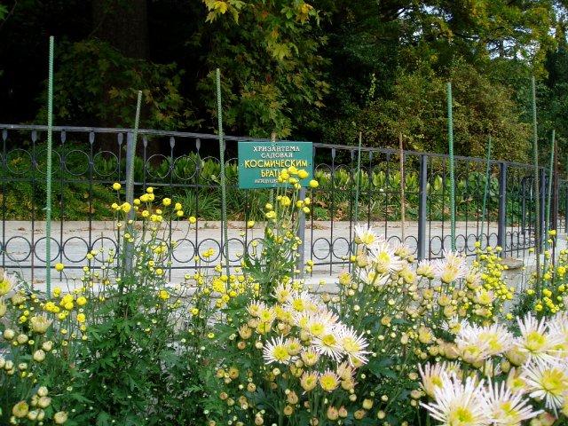 Парад хризантем в Никитском ботаническом саду. Крым  2d44c8c0d486