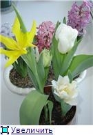 Выгонка луковичных. Тюльпаны, крокусы и др. C17e8dfe24cct