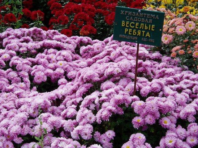 Парад хризантем в Никитском ботаническом саду. Крым  0b87051887e7