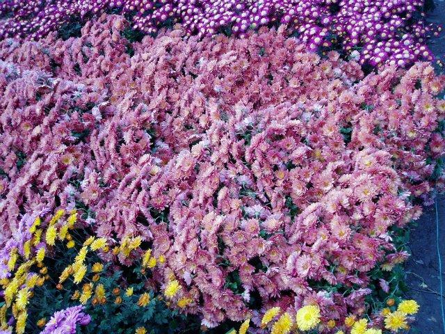 Парад хризантем в Никитском ботаническом саду. Крым  B9c0ec8186f7