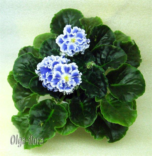 Цветение к Н. Г. (Olga-flora) - Страница 5 C4140751dd44