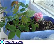 Розы в комнатной культуре 0a28821c91b0t