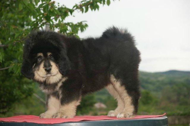 «Tibetan Mastiff Breeding Plans and Puppies for Sale». 2ed97f401735