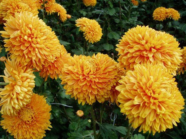 Парад хризантем в Никитском ботаническом саду. Крым  7cf829235554