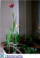 Выгонка луковичных. Тюльпаны, крокусы и др. - Страница 3 9f6bb4332c49t