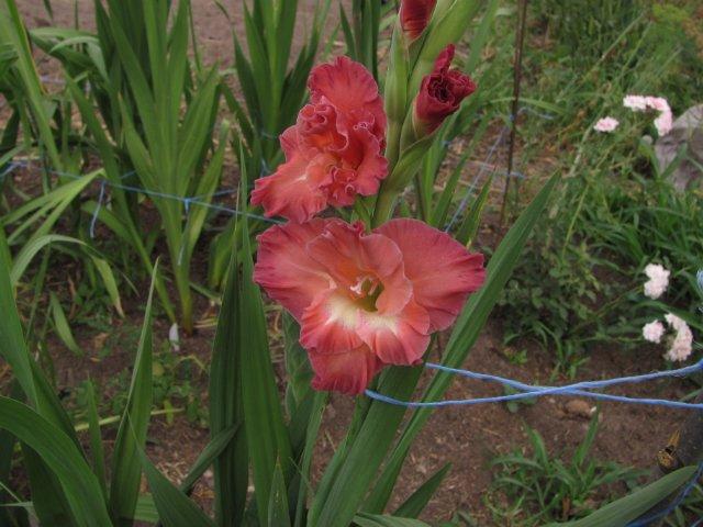 Мои садовые - Страница 2 3ea8420dbb18