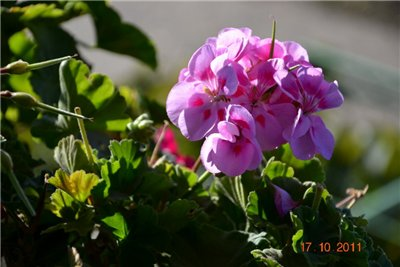 Цветы на балконе. - Страница 6 Efae3616756f