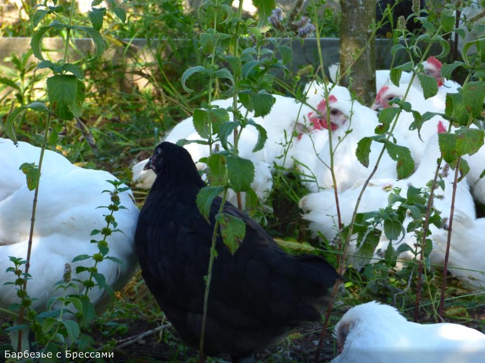 Продажа инкубационного яйца породных кур: Бресс Гальская, Ред Айленд, Карликовый Легорн, Фокси Чик Dbfa1d02bba0