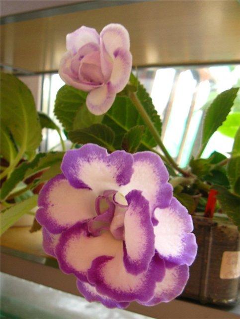 Цветочки комнатные!...и не только... D8851b4bf977