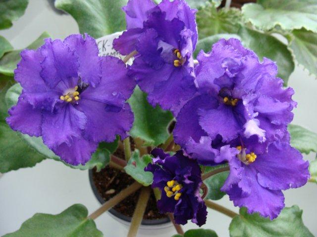 Мои цветочки - Страница 19 Aadd4a6033ae
