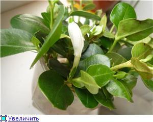 Карисса грандифлора(Carissa grandiflora) 7fc547b8540et