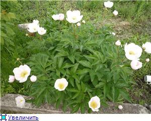 Пионы травянистые, ИТО-гибриды, видовые, древовидные, Рока 152029ca1af1t