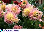 Георгины в цвету 27c91f694a2ft