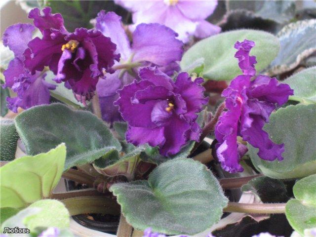 Мои цветики-семицветики - Страница 9 431254ee9b31