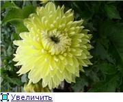 Георгины в цвету 13b7a66924c5t