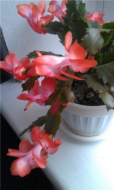 Наши домашние растения - Страница 2 Df8cdd091c24